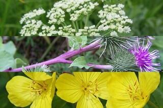 10 erbe che fanno dimagrire: combatti i chili di troppo in modo naturale (FOTO)