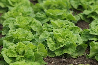 Arriva la lattuga sempre verde: riduce gli sprechi e può essere conservata più a lungo