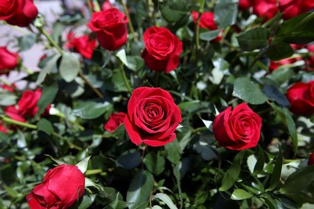 Fiori Tipo Rose.Rose Tipologie Storia E Curiosita