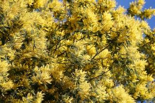 Festa della Donna: quest'anno le mimose sono poche e carissime