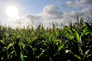 Mais nero: i benefici del mais azteco riscoperto da un giovane italiano