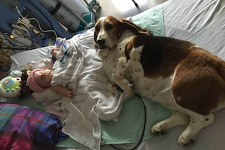 Il cane rimane al capezzale della bimba in fin di vita: non vuole lasciarla morire