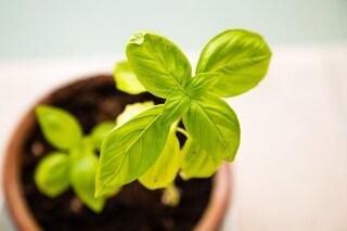 Come coltivare il basilico in vaso sul tuo balcone