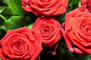 Rose antiche: cosa sono e varietà