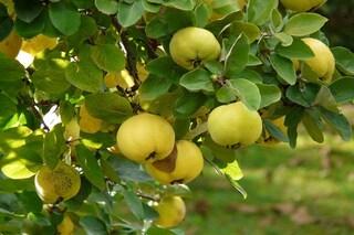 Mela cotogna: proprietà e benefici del frutto dimenticato