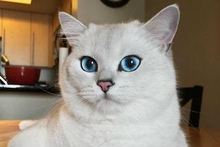 Coby, il gatto dai meravigliosi occhi blu diventa una star di Instagram