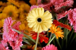 Come coltivare la gerbera in terra e in vaso: mini guida per curarla al meglio