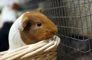 Come crescere un porcellino d'India in casa e i consigli per tenerlo in salute