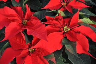 Stella di Natale: le cure per farla durare a lungo