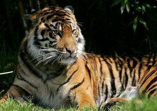 Tigri e volpi libere in casa: mamma arrestata per aver messo in pericolo la figlia