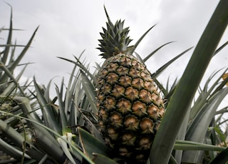 Ananas, ricco di proprietà ma attenti agli effetti collaterali