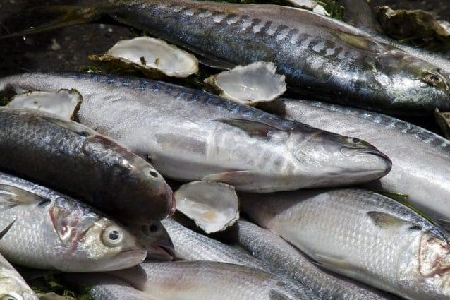 Pesce Azzurro Proprietà Specie E Come Consumarlo