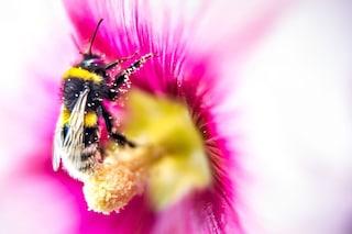Polline d'api: proprietà benefiche, dosi consigliate e controindicazioni