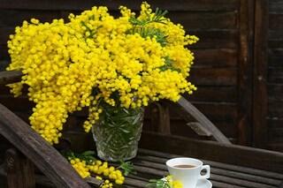 Come far durare a lungo la mimosa: i consigli per conservarla fresca o essiccata