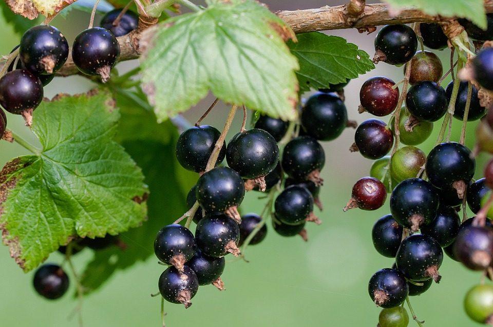 Ribes Nigrum Proprietà Utilizzi E Controindicazioni