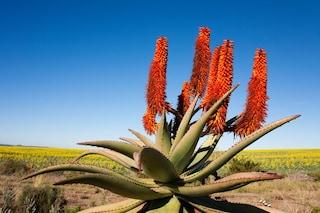 Aloe ferox: proprietà dimagranti, benefici e controindicazioni
