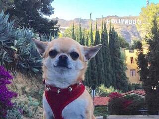 Miami, il chihuahua con la passione per i viaggi è una star dei social