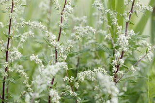 Artemisia: proprietà benefiche, usi e controindicazioni