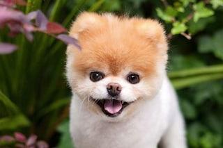 E' morto Boo, il cagnolino più dolce e famoso del mondo