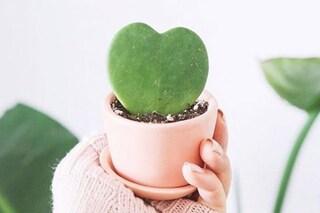 L'Hoya Kerrii, la pianta grassa a forma di cuore aggiunge un tocco romantico alla nostra casa