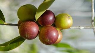 Camu camu: proprietà e benefici del frutto esotico fonte di vitamina C
