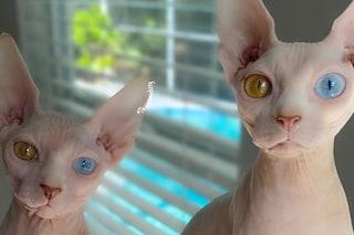 I gatti nudi con gli occhi di colori diversi conquistano i social: Rosie e Poppy sono delle star