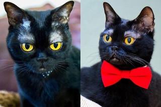 Cornelius, l'adorabile gatto con le sopracciglia bianche è una star dei social