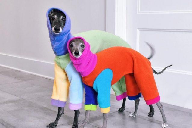 I dog influencer Tika The Iggy e Jugo The Iggy