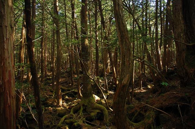 La fitta foresta di Aokigahara