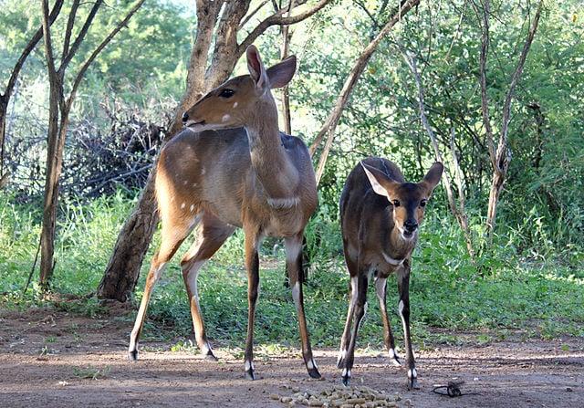 Antilopi madre e figlio a Marmoth Park