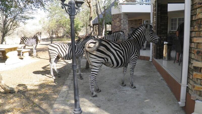 Zebre a Marloth Park
