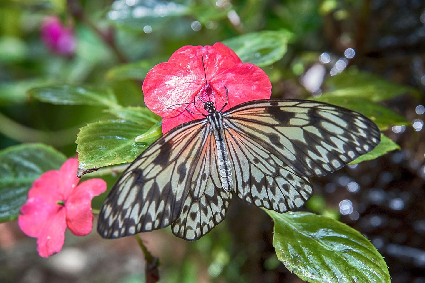 Farfalla colorata della Butterfly House [ @Fanpage.it / Ilaria Vangi]