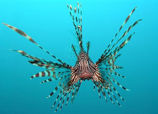 Esemplare di lionfish (Foto da Wikipedia).