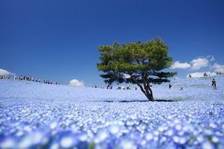 Hitachi Seaside Park, il giardino dove è primavera tutto l'anno