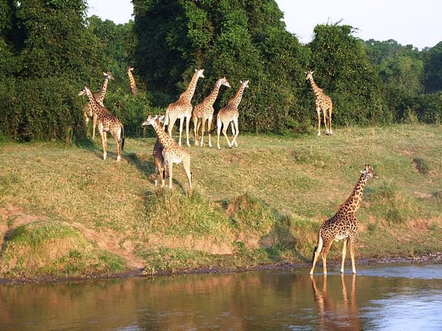 Safari in Kenya, Masai Mara – Foto Wikimedia Commons