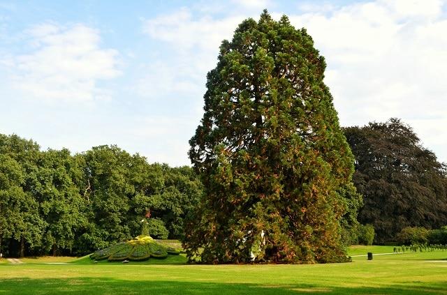 La sequoia gigante