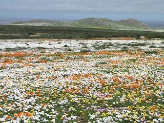 Sudafrica, lo spettacolo del deserto che fiorisce in primavera