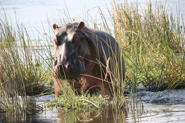 Ippopotamo al Mana Pools National Park – Foto di Terry Feuerbaum