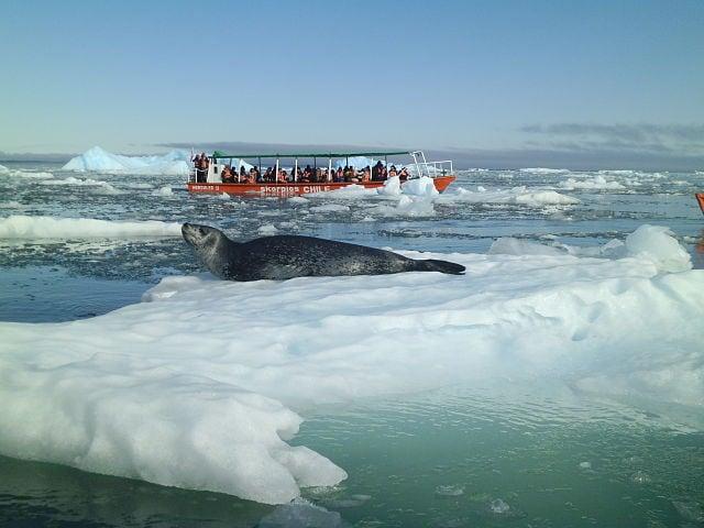 Foca antartica nel Parco Laguna San Rafael – Foto Wikimedia Commons
