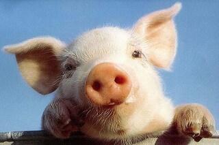 L'aeroporto di San Francisco recluta un maiale per i passeggeri ansiosi