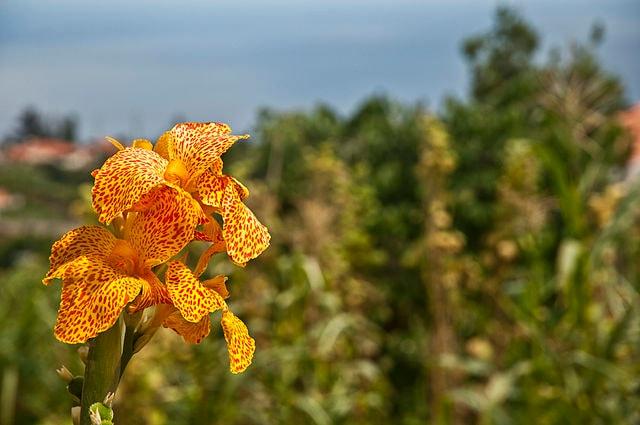 Madeira è famosa per le sue varietà floreali – Foto Wikimedia Commons