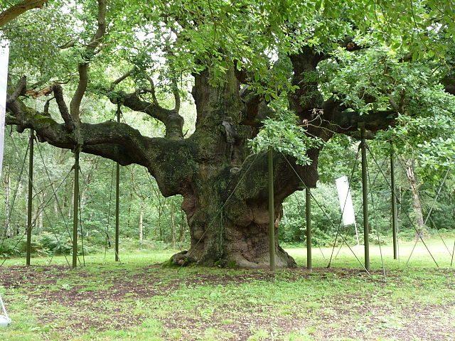 Major Oak – Foto Wikimedia Commons