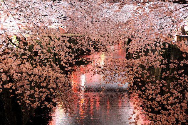 Hanami. Fioritura dei ciliegi. Foto da Flickr