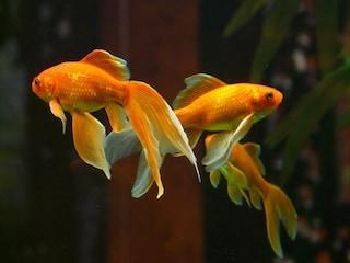 Solo in albergo? In Belgio puoi avere la compagnia di un pesce rosso