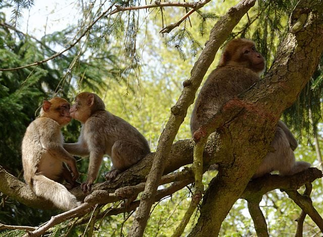 Macachi nella Montagne des Singes – Foto Wikimedia Commons