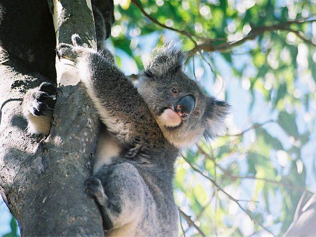 Koala a Kangaroo Island – Foto Wikimedia Commons