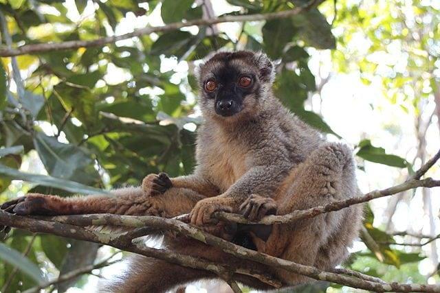 Lemure nel Vakona Forest Lodge – Foto Wikimedia Commons