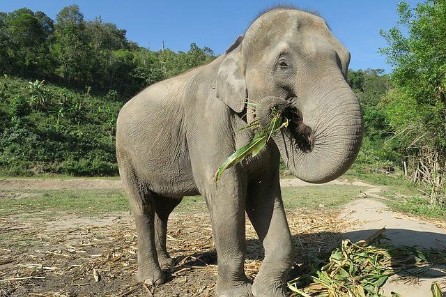 Elefante in Thailandia – Foto Pixabay