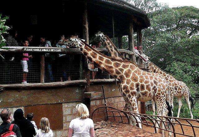 Giraffe nella riserva naturale del Giraffe Manor – Foto di Eduardo Zárate