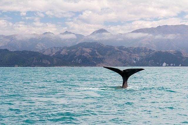 L'avvistamento di una balena a Kaikoura – Foto Wikimedia Commons